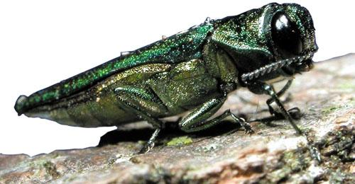 The Mo. Dept. of Conservation is urging the use of local firewood to stop the spread of the emerald ash borer, pictured here.