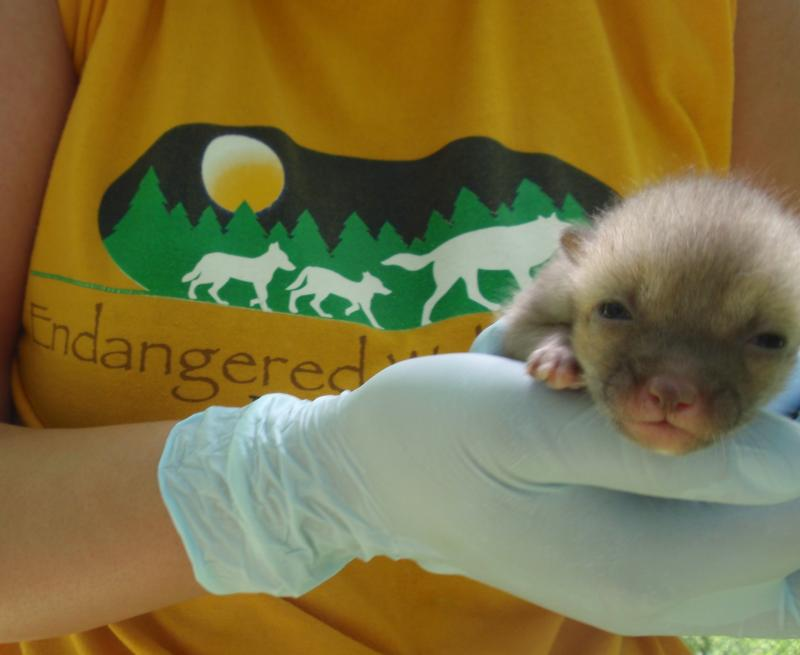 One of the swift fox kits born four weeks ago at the Endangered Wolf Center in Eureka.