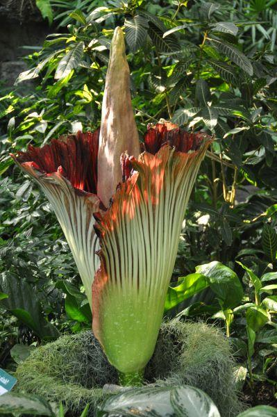 This corpse flower is blooming in the Climatron at the Missouri Botanical Garden.