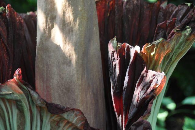 Close up of the corpse flower's bloom.