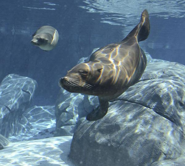 Two of the Saint Louis Zoo's 11 California sea lions, swimming in the new Sea Lion Sound exhibit.