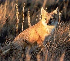 An adult swift fox weights only about five pounds. Its fluffy fur makes it appear about the size of a house cat.