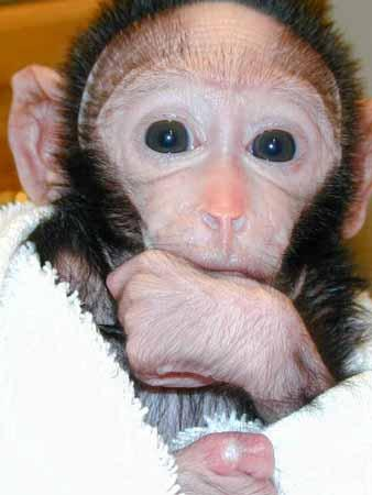 A Pigtailed Macaque, the type of monkey still missing from Monkey Island Rescue and Zoological Sanctuary.