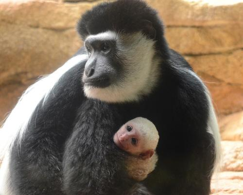 Roberta, a colobus monkey, and her new baby at the Saint Louis Zoo.