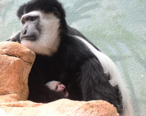 The new baby colobus monkey yawns in its mother's arms at the Saint Louis Zoo.