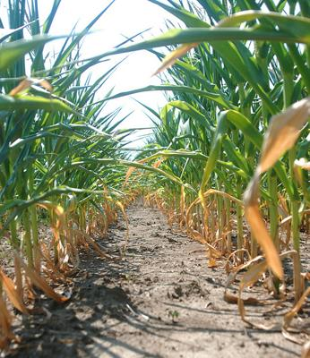 Drought- affected corn in Boone County this summer.