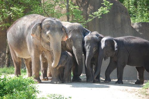 The Asian elephant herd at the St. Louis Zoo, shown here in 2012, is set to grow by one. Ellie (far left) is expecting her third daughter in spring 2013.
