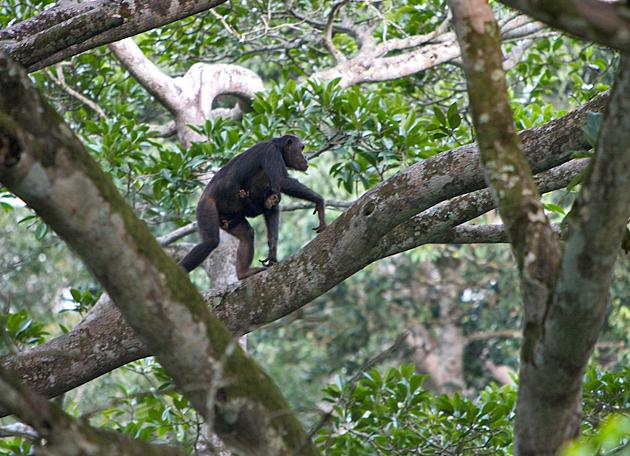 The ease with which this female and infant chimpanzee move through the forest canopy is deceiving - they're more than 130 feet above the ground.