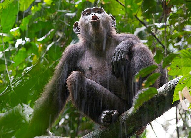 A chimpanzee sounds its call in the Goualougo Triangle - the site of an intensive conservation project which researchers Crickette Sanz and David Morgan founded.