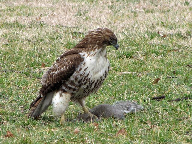 This red-tailed hawk is holding its next meal – a squirrel – in its talons.