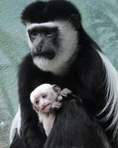 Kivuli, a baby colobus monkey, rests in her mother, Cecilia's arms at the Saint Louis Zoo.