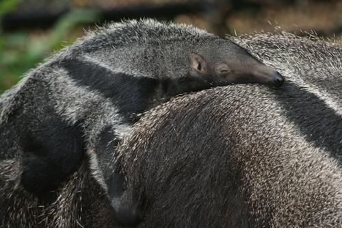 Baby giant anteater Sabia rests on the back of her mother.