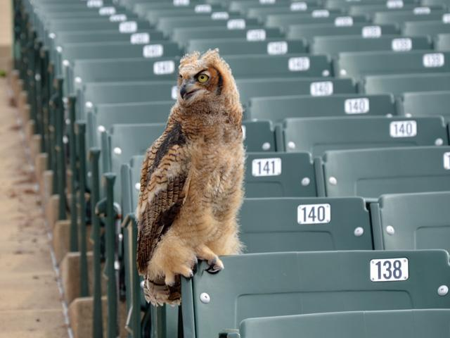 This young great horned owl hatched last year in a nest near the MUNY theater in Forest Park.