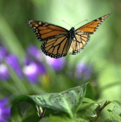 "Monarch Butterfly in Flight, ""Flight of the Butterflies"" opens at the Saint Louis Science Center on January 18th"