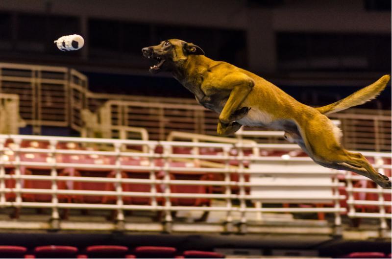 Dock dog competitor Baxter
