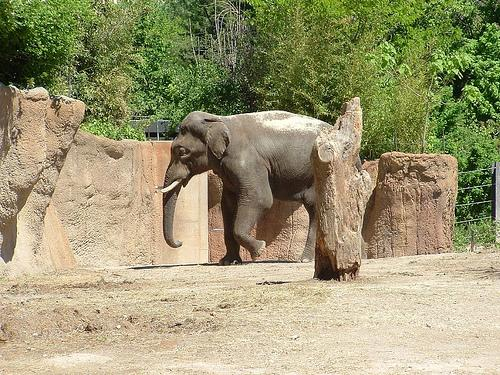 An Asian Elephant at the St. Louis Zoo.