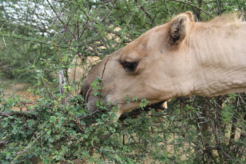 Camels now number in the millions in Kenya
