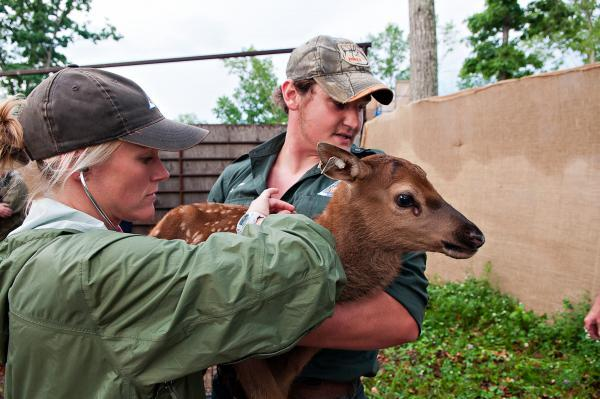 "MDC' Jake Rieken holds the newborn male calf while MDC State Wildlife Veterinarian Kelly Straka checks his heartbeat. ""He looks good and his heartbeat sounded fantastic,"" Straka said."
