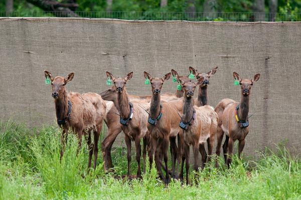 These are among the 40 elk temporarily being kept in holding pens at MDC's Peck Ranch Conservation Area.