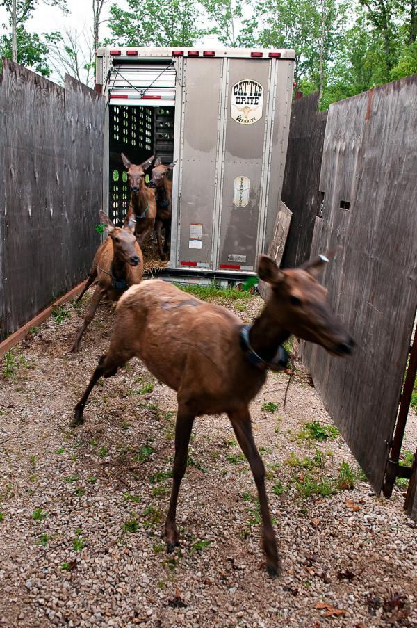 The elk were released from their livestock trailer on May 21. A radio collar is visible around the neck of the elk in the foreground.