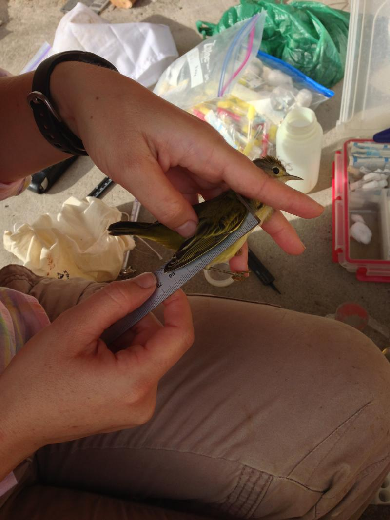 Mari measures the wing of a male yellow warbler. This species of warbler is endemic to the Galapagos.