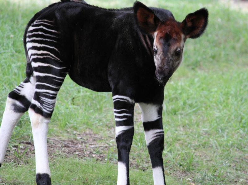 Umeme, a baby okapi born at the Saint Louis Zoo gives a little smile to the camera - or we think that's what that is.