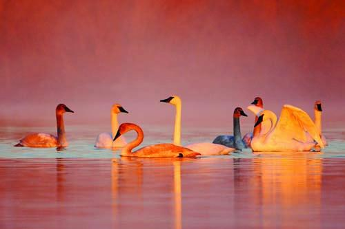 Trumpeter Swans have landed at the confluence of the Missouri and Mississippi Rivers every year in October since 1991.