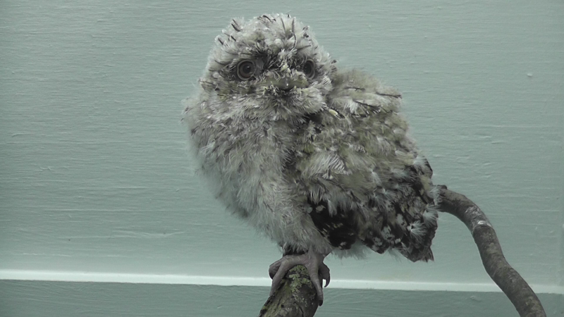 The now three-week old Tawny Frogmouth perched on a branch at the Saint Louis Zoo.
