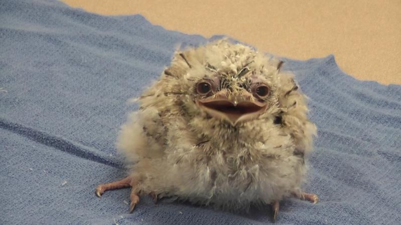 The Saint Louis Zoo's 17 day old Tawny Frogmouth gives a big smile for the camera!