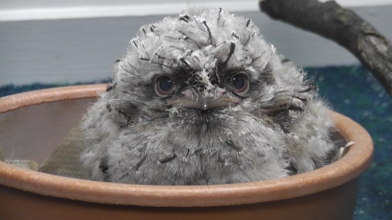 No smile this time. The fluffy 24 day old Tawny Frogmouth sits in his bowl looking unamused by the camera.