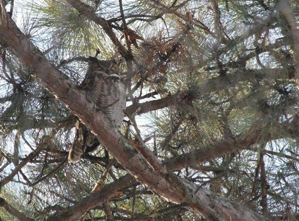 Great Horned Owl in Forest Park on January 30, 2011.
