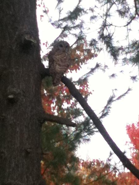 A Kirkwood listener took this photo of a Barred Owl outside his window.