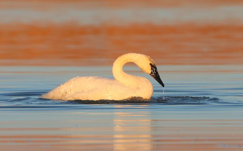 Trumpeter swans live in wetlands, eating the seeds of aquatic vegetation. In our area, they supplement their diet with waste grain from corn fields to make it through the winter.