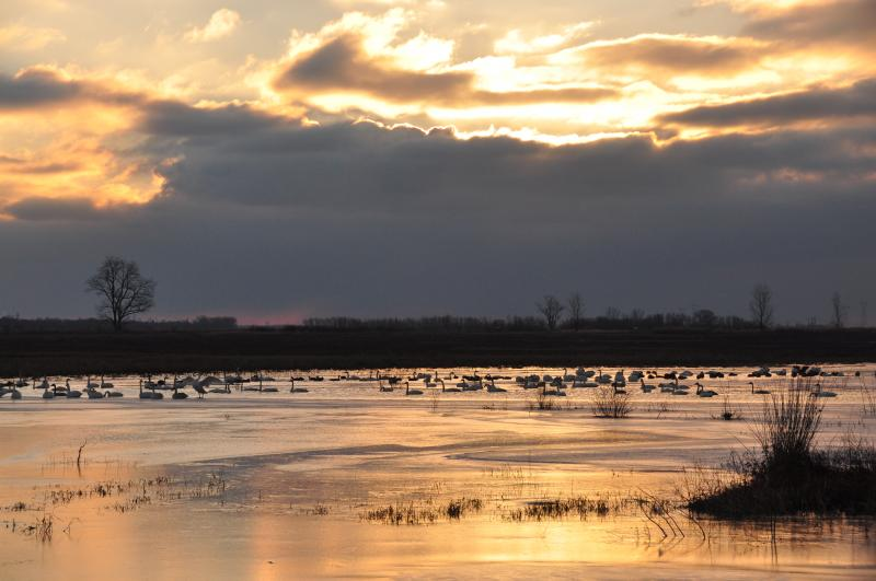 It's about an hour after dawn on a cold January morning. A couple hundred trumpeter swans have spent the night on Pintail Pond at the Riverlands Migratory Bird Sanctuary near Alton, Illinois.