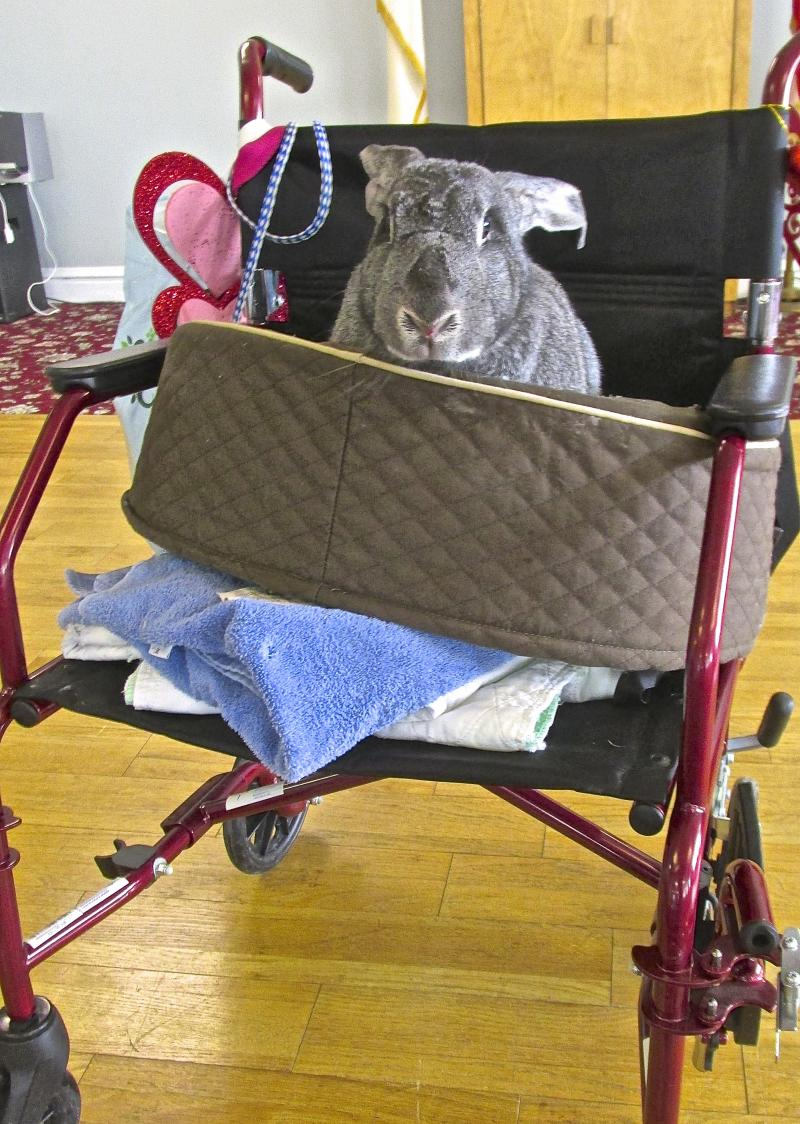 Jane Eyre, a Flemish Giant rabbit, arrives at the Manor in a stroller.