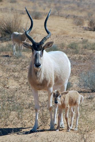 An addax calf in Tunisia