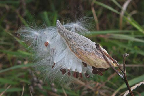 Milkweeds produce large pods that turn brown and release fluffy seeds in the fall.