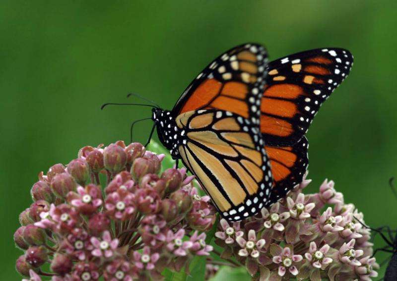 A female monarch collects nectar from a milkweed flower.