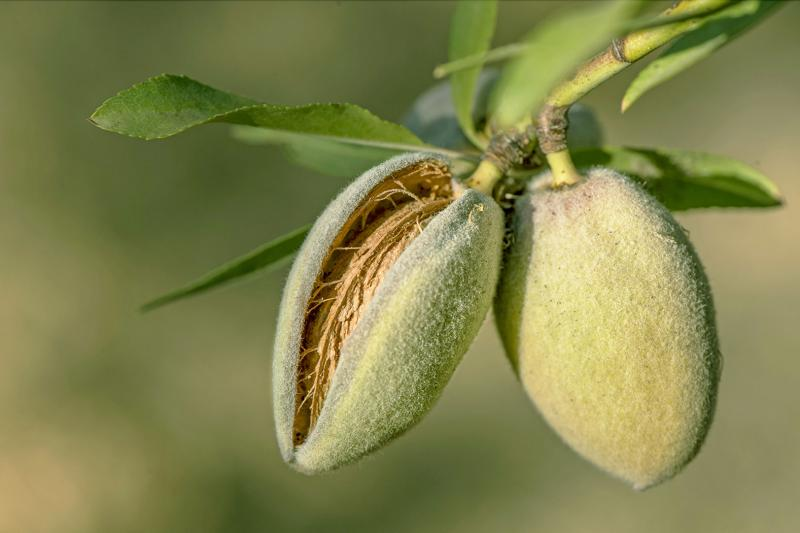 "California almonds ready to harvest, from ""Almonds: Recipes, History, Culture"" by St. Louis authors Barbara Bryant and Betsy Fentress"