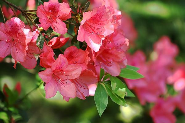 Several listeners had questions about their azaleas, which aren't doing too well after the cold winter.