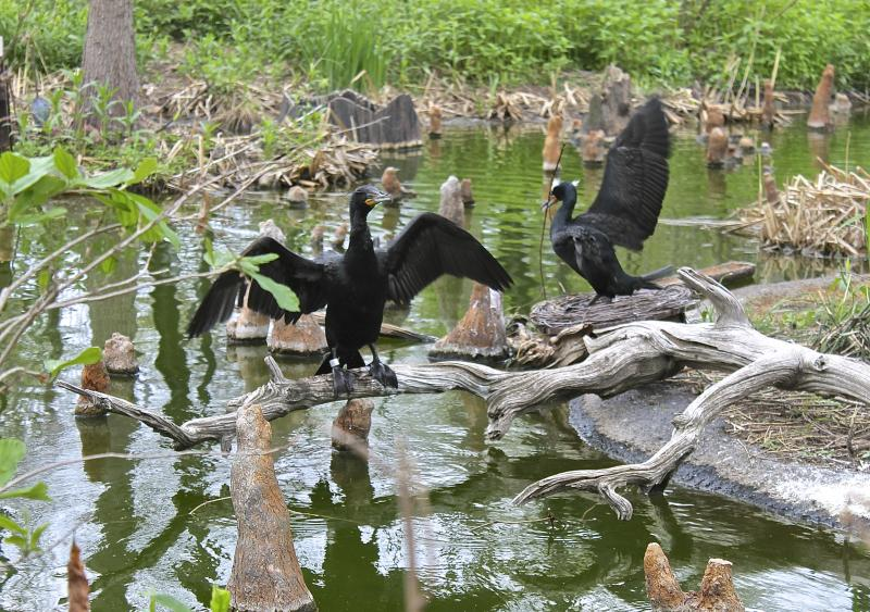 The cormorants always put on a good show.