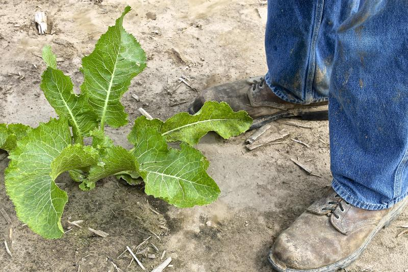 Farmer Jeff Heepke stands in a horseradish field near Roxana, Ill. His great-grandfather brought roots from Germany.