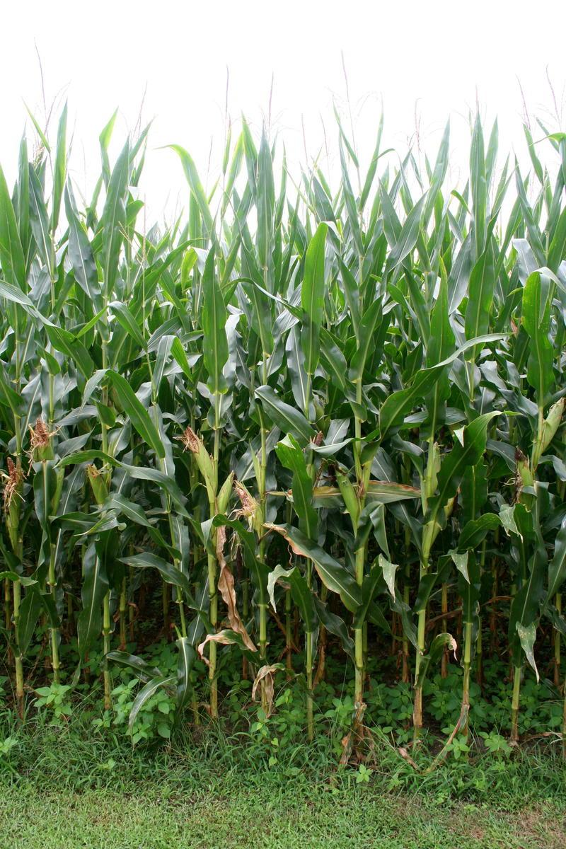 Corn stalks Kaskaskia Island