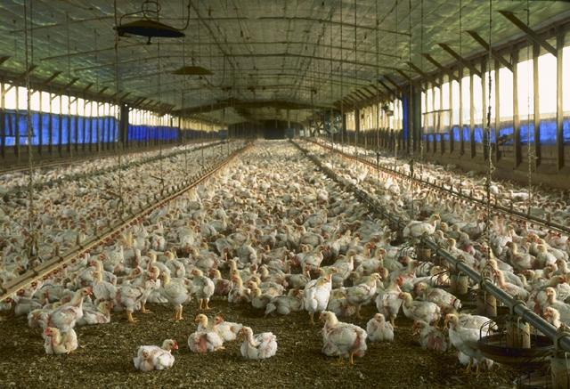 A commercial chicken house in Florida.