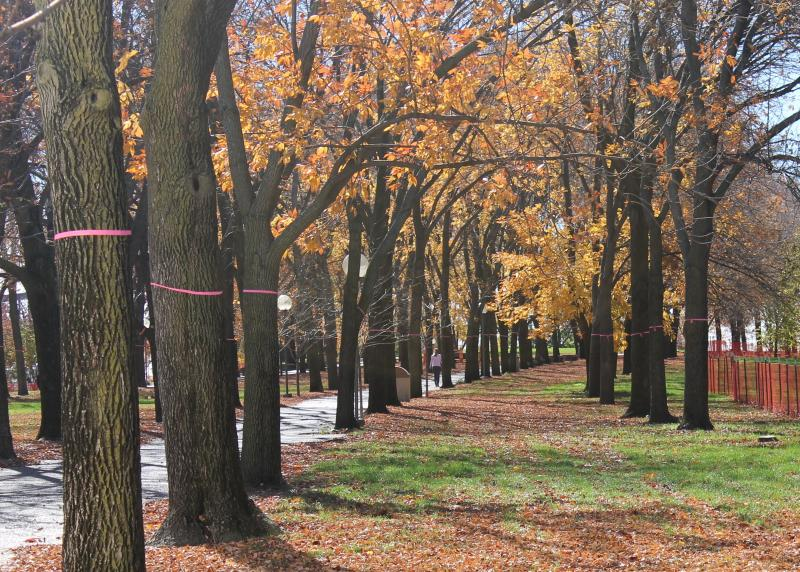 The trees that are slated for removal on the Arch grounds are marked with a pink ribbon.