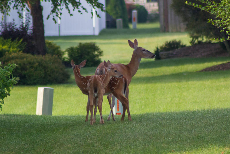 Some residents of Town and Country are protesting the city's approach to deer overpopulation in the suburb.