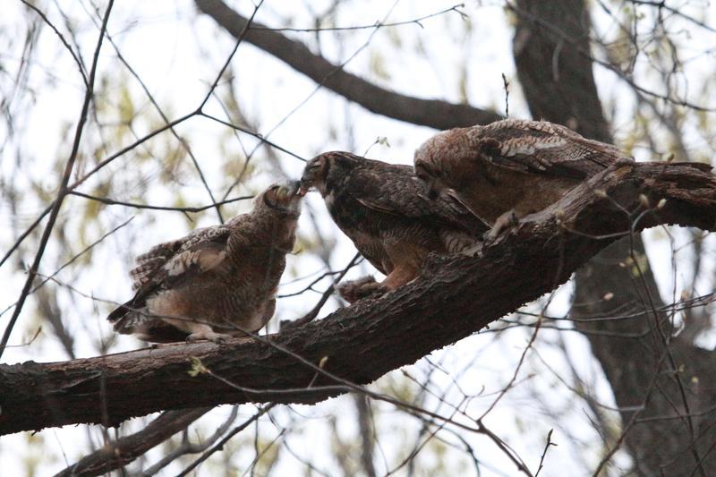 Sarah feeds the owlets.