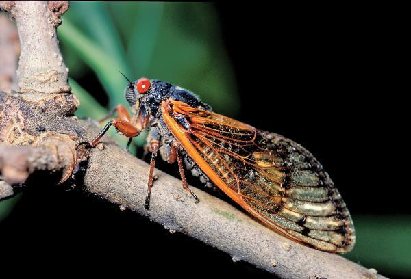 Thirteen-year cicadas will begin emerging in southeastern Missouri in mid-May.