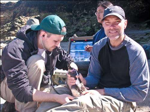 The Saint Louis Zoo's curator of birds Michael Macek works to conserve Humboldt penguins in Punta San Juan, Peru.