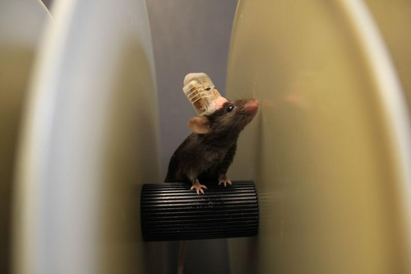"A mouse runs on a ""rotarod"" wearing the implantable device. The experiment is designed to test the mouse's motor skills."